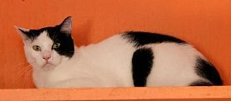Domestic Shorthair Cat for adoption in Memphis, Tennessee - Oreo
