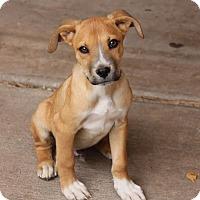 Adopt A Pet :: Lays - Phoenix, AZ