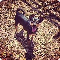 Adopt A Pet :: Pretty Pants Bandit - San Diego, CA