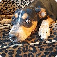 Adopt A Pet :: Captain Boomerang - Valencia, CA