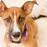 Adopt A Pet :: Boo Boo - greenville, SC