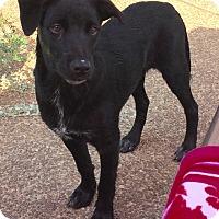 Labrador Retriever/Golden Retriever Mix Puppy for adoption in KITTERY, Maine - OCTAVIA