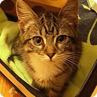 Adopt A Pet :: Selkie - St. Louis, MO