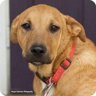 Labrador Retriever/Shepherd (Unknown Type) Mix Puppy for adoption in Huntsville, Alabama - Summit