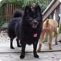 Adopt A Pet :: Sophie Marie - 11 lbs - Dahlgren, VA