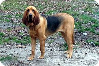 Bloodhound Dog for adoption in Pennsville, New Jersey - FORREST