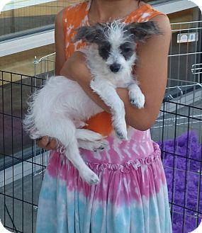Poodle (Miniature)/Terrier (Unknown Type, Small) Mix Puppy for adoption in La Verne, California - Ripley