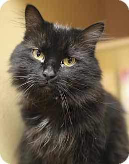Domestic Mediumhair Cat for adoption in Marlborough, Massachusetts - Priscella Plumetail: affectionate, only 3