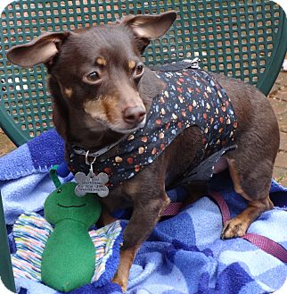 Dachshund/Chihuahua Mix Dog for adoption in Portland, Oregon - COOPER