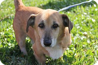 Corgi/Basset Hound Mix Dog for adoption in Sanford, Florida - Charlie