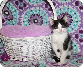 Domestic Shorthair Kitten for adoption in Marietta, Ohio - Darrin