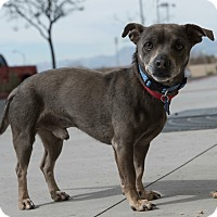 Adopt A Pet :: Dodger - Las Vegas, NV