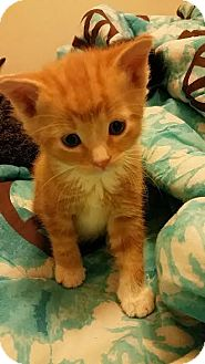 Domestic Shorthair Kitten for adoption in Chippewa Falls, Wisconsin - Rolie