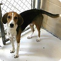 Adopt A Pet :: Dream - Hilton Head, SC