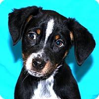 Adopt A Pet :: Puff - Glastonbury, CT