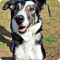 Adopt A Pet :: Hannah - McKinney, TX