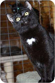 Domestic Shorthair Cat for adoption in Eldora, Iowa - Peter