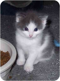 Domestic Shorthair Kitten for adoption in Delmont, Pennsylvania - Alex & Nate