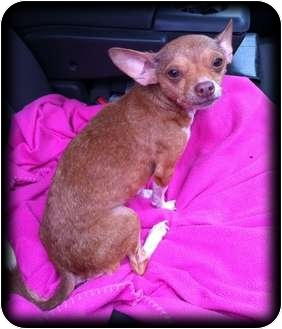 Chihuahua/Terrier (Unknown Type, Small) Mix Dog for adoption in Fowler, California - Jona
