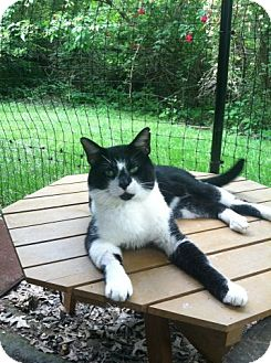 Domestic Shorthair Cat for adoption in Columbia, Maryland - Simon