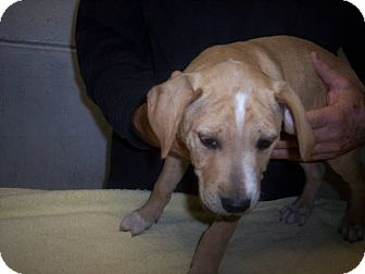 Labrador Retriever/Shepherd (Unknown Type) Mix Puppy for adoption in Germantown, Maryland - Terry