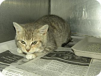 American Shorthair Kitten for adoption in Lancaster, Virginia - Sassy