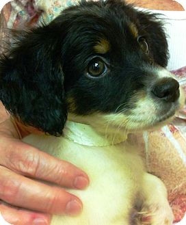 "English Setter Puppy for adoption in Oswego, Illinois - Abby's 8 is e ruff  ""Alana"""