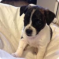 Adopt A Pet :: JOEY - Torrance, CA