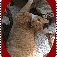 Domestic Shorthair Cat for adoption in Mt. Prospect, Illinois - Kaner