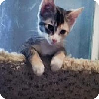 "Domestic Shorthair Kitten for adoption in Mission Viejo, California - Adi ""Jewel"""
