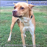 American Staffordshire Terrier Mix Dog for adoption in Bonham, Texas - Stonie