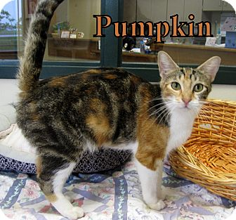 Domestic Shorthair Cat for adoption in Gaylord, Michigan - Pumpkin
