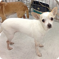 Chihuahua Mix Dog for adoption in Inverness, Florida - Lily of the Valley
