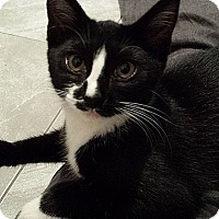 Domestic Shorthair Kitten for adoption in Tampa, Florida - Harley