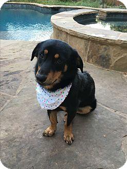 Corgi/Shepherd (Unknown Type) Mix Dog for adoption in Redmond, Washington - Shyla