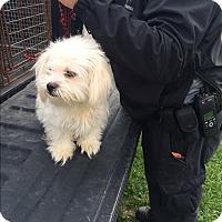 Adopt A Pet :: Saucy - Baltimore, MD