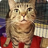 Adopt A Pet :: Felix a BIG KITTY - Berkeley Hts, NJ