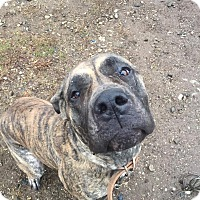 Adopt A Pet :: Snickers - Vernon, CT