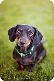 Dachshund Dog for adoption in Seattle, Washington - Lulu