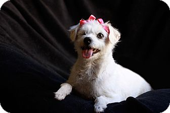 Maltese/Westie, West Highland White Terrier Mix Dog for adoption in El Cajon, California - LUCY