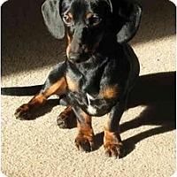 Adopt A Pet :: BAXTER BUD - Portland, OR