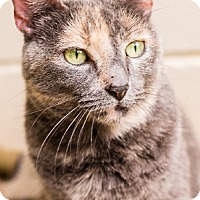 Domestic Shorthair Cat for adoption in Fairhope, Alabama - Mavonne