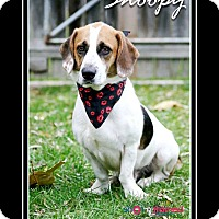 Adopt A Pet :: Snoopy - Delaware, OH