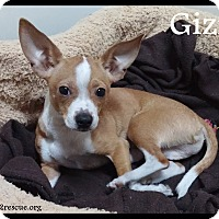 Adopt A Pet :: Gizmo - Rockwall, TX