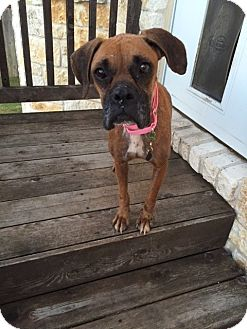 Boxer Dog for adoption in Austin, Texas - Violetta