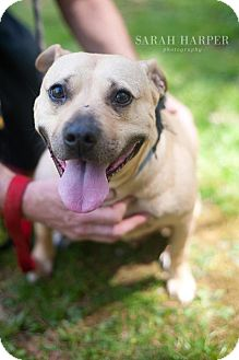 American Staffordshire Terrier/Boxer Mix Dog for adoption in Baltimore, Maryland - Michelle