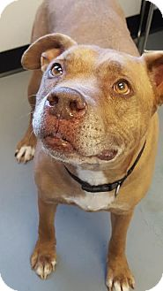 American Pit Bull Terrier Mix Dog for adoption in Fulton, Missouri - Chappy *Kentucky