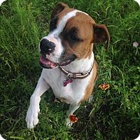 Adopt A Pet :: Bella Rosa - Austin, TX
