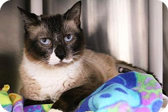 Siamese Cat for adoption in Bellevue, Washington - Simon