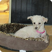 Chinese Crested Mix Dog for adoption in San Antonio, Texas - Gidget
